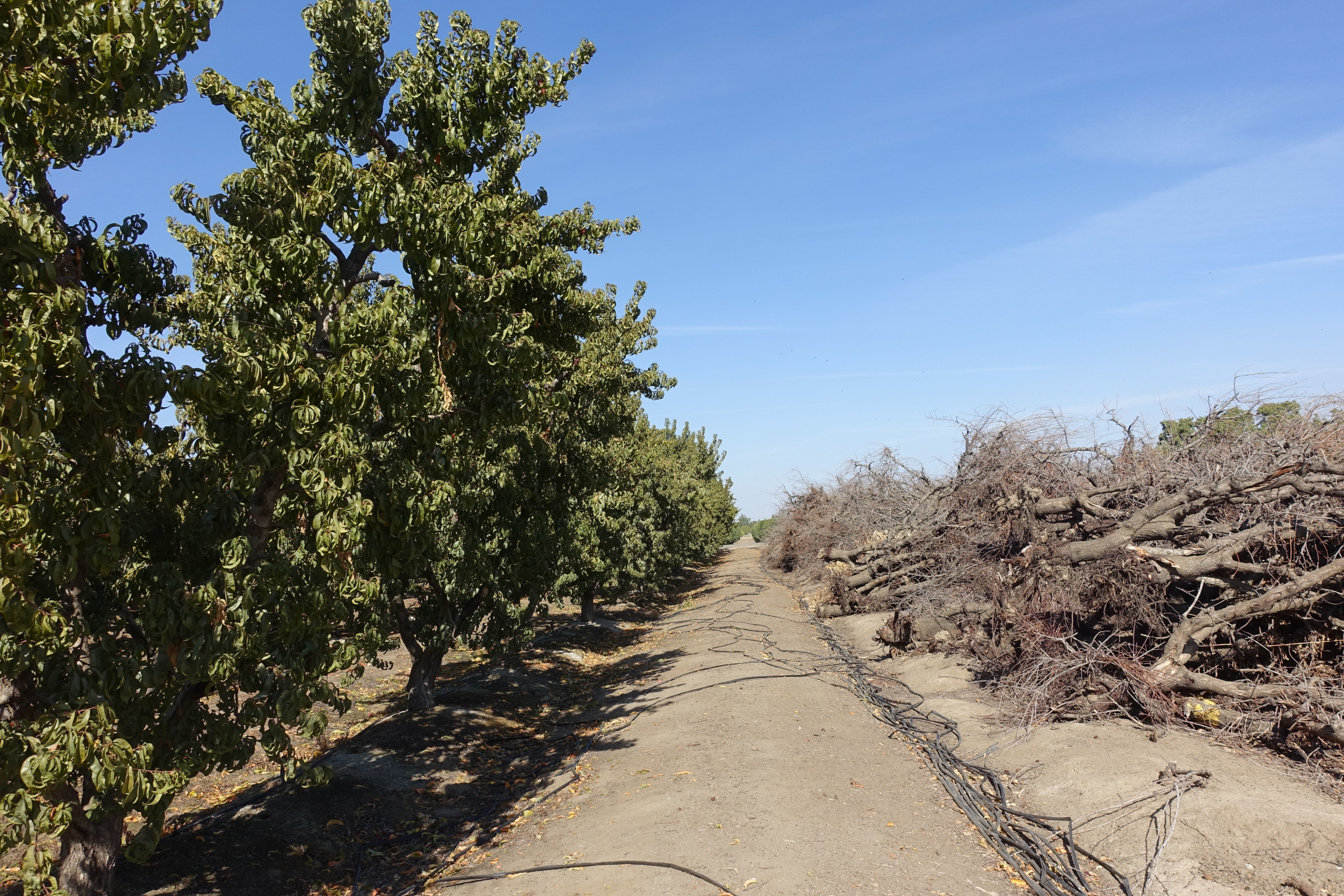 Standing orchard trees (left) next to uprooted orchard trees (right)