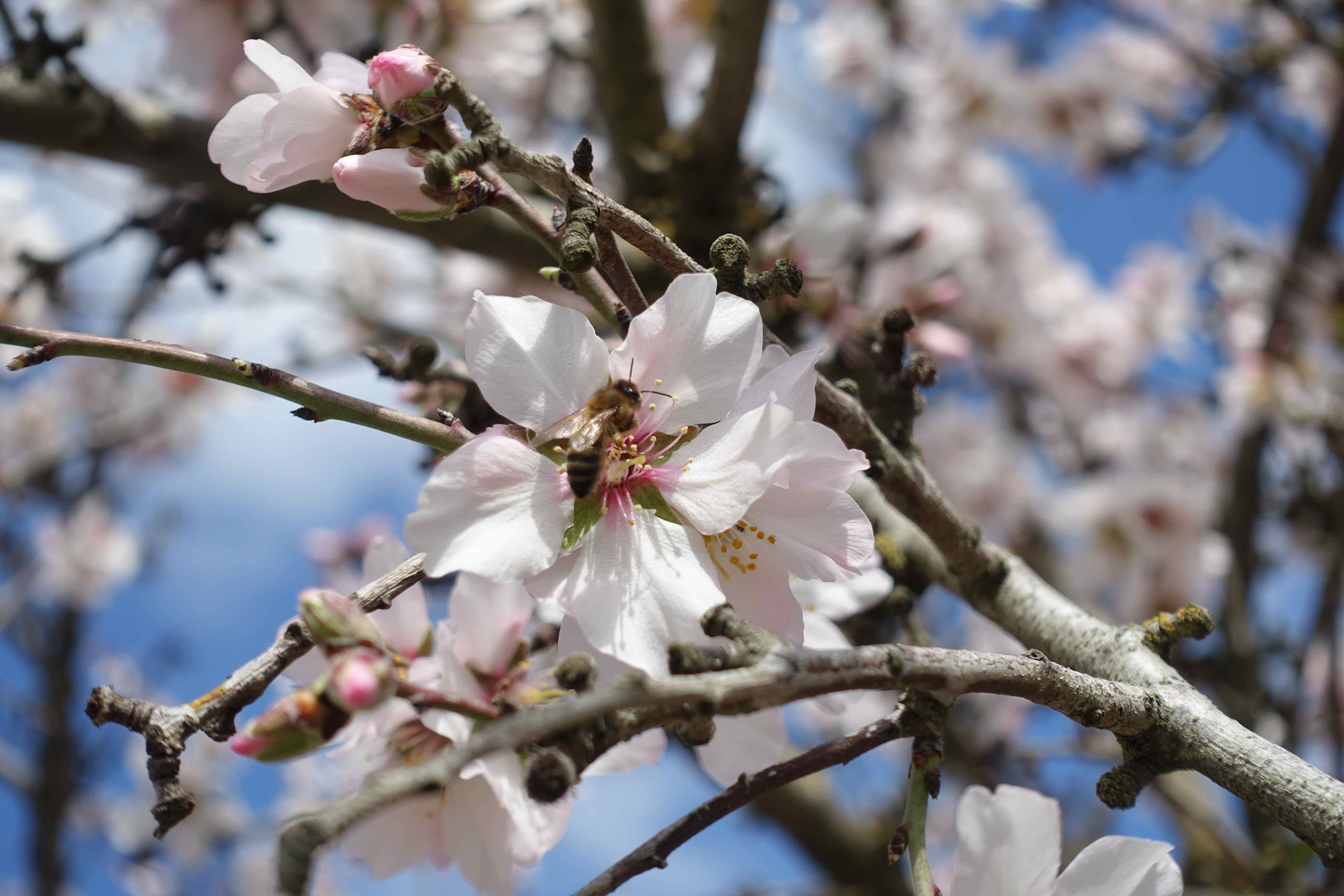 Almond blossom at Gemperle Orchards
