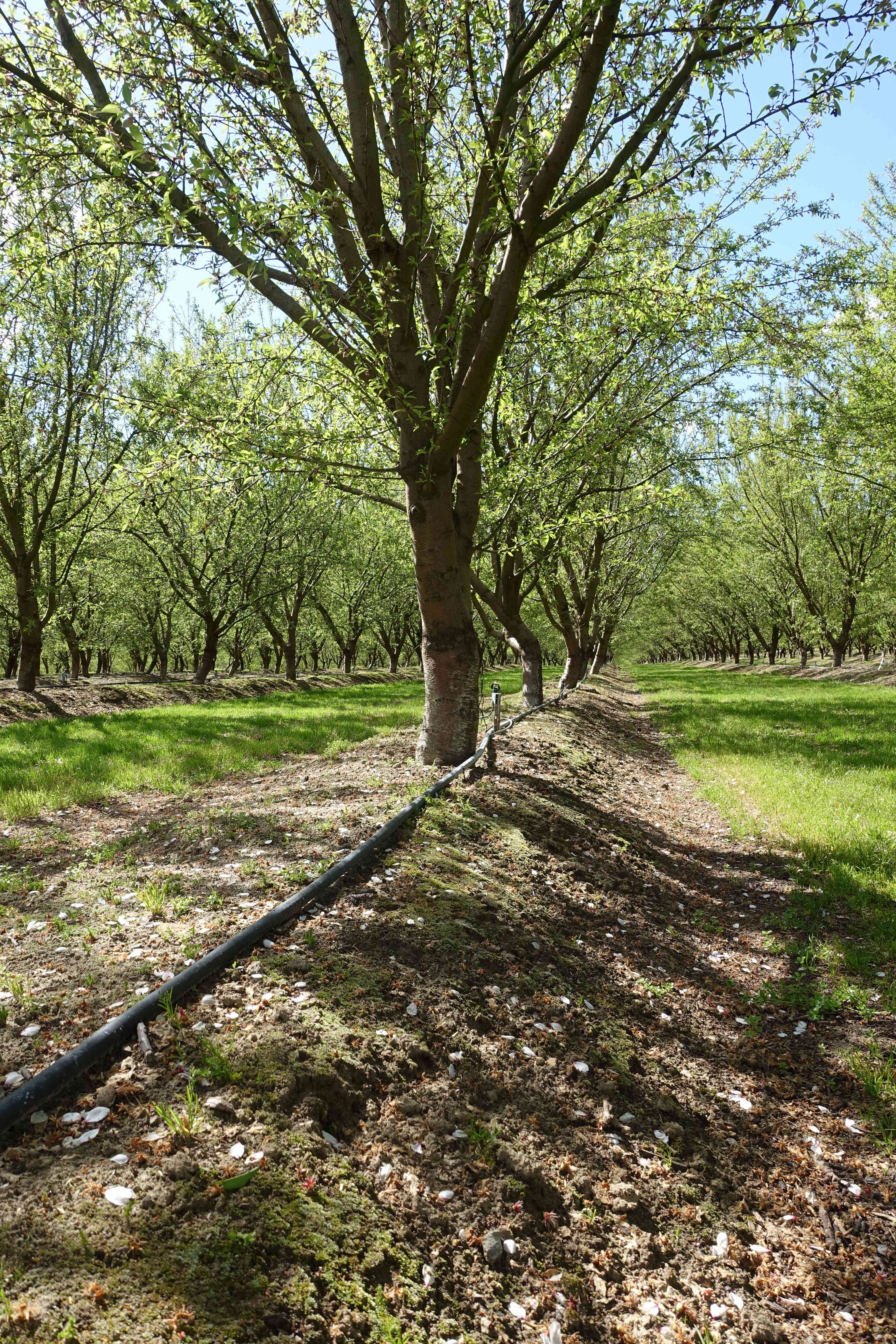 Microsprinkler line in an almond orchard