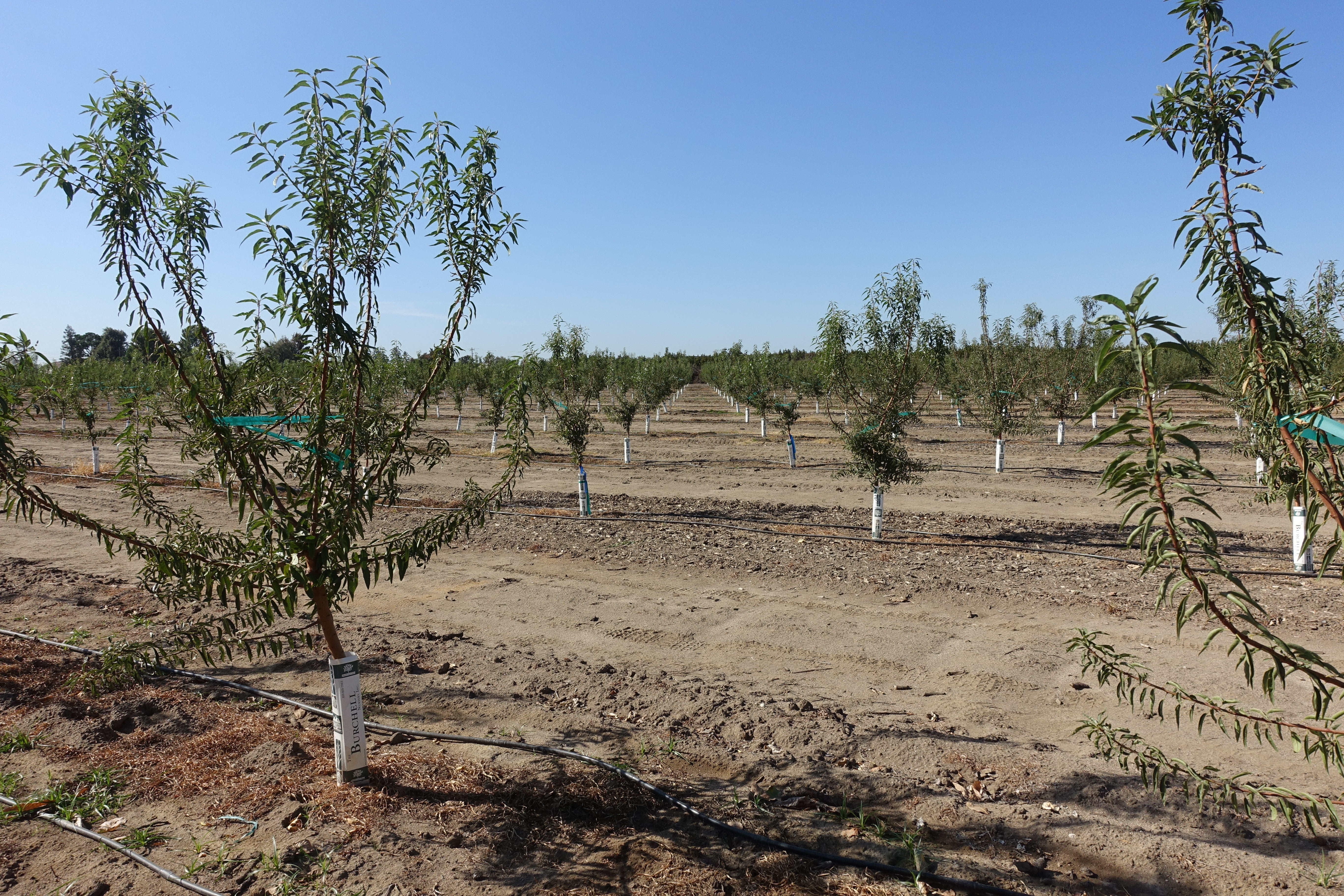 One-year-old almond trees in demonstration orchard at CSU Fresno